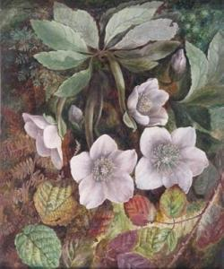 lucas_albert_durer-a_christmas_rose_or_hellebore~OM0ce300~10719_20110615_pw1506112_378